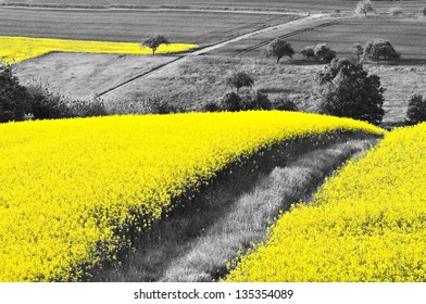 Shining yellow oilseed rape fields in a black and white landscape