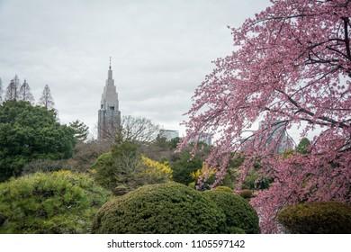 Shinjuku skyscrapers and Sakura tree in the Shinjuku Gyoen National Park