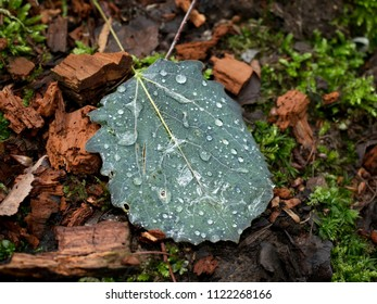 Shinning rain drops on fallen green aspen leaf. Detail of small diamonds.