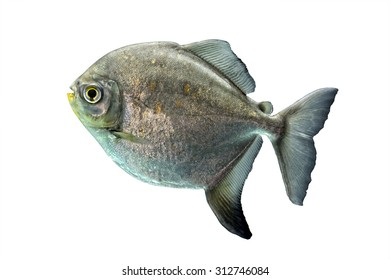 A shinny silver tropical fish isolated on a white background.
