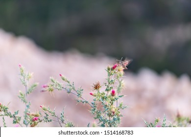Shinx Hummingbird moth collecting nectar from thistle flowers and thorny plant at Paria view in Bryce Canyon National Park in Utah in evening