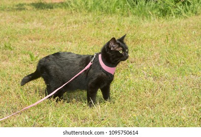 Shiny black cat in pink harness with an an alert look on her face