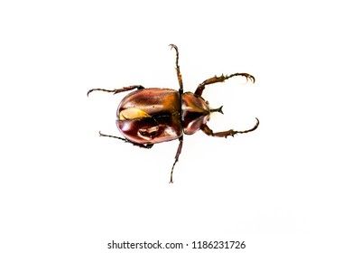 The shiny brown Hercules beetle with the black strong horn and six spiky legs