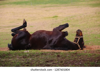 Shiny coated retired dark brown horse  having a sand bath after grazing in the grassy paddock  on a fine summer afternoon is happy and contented.