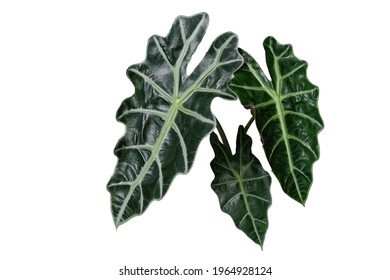 Feuilles vert foncé et brillantes en forme de coeur de Masque africain (Alocasia amazonica) plante à oreilles d'éléphant, plante d'intérieur de feuillage tropical isolée sur fond blanc avec chemin de détourage.