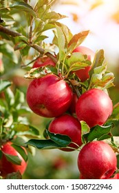 Shiny delicious apples hanging from a tree branch in an apple orchard