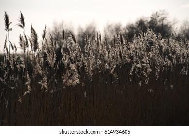 Shiny dry reed grass in sun backlight in rural area in Germany, Brandenburg