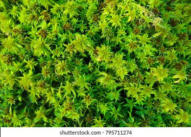 Shiny green bog plants (sphagnum moss) in spring as a nature pattern.