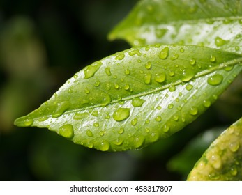 Shiny green pointed tree leaf with water droplets closeup.  Veins in leaf showing