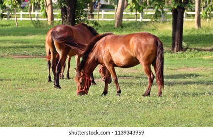 Shiny horses eating grasses in the green field