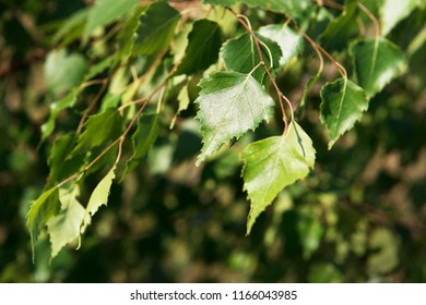 Shiny leaves of birch under sun