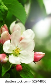 Shiny picture of an apple flower