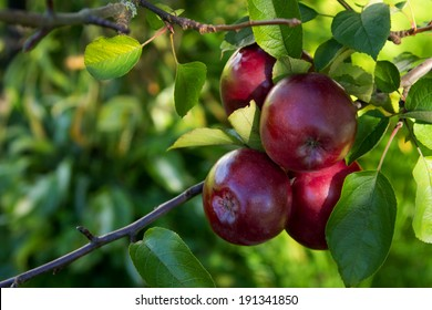 shiny red apples on a branch
