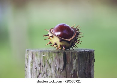 Shiny red conker on an old tree trunk the hard dark brown nut of a horse chestnut tree