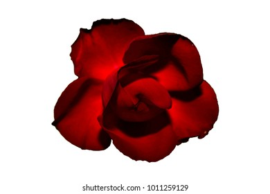 Shiny red rose flower with giant red leaves. Vertical view on the flower isolated on white background.