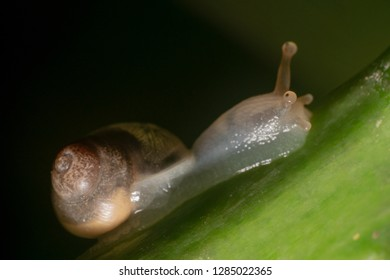 Shiny shot of a slug/snail in Bali, Indonesia. Pointy eyes of a snail/slug