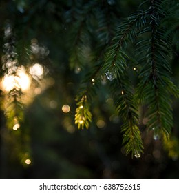 Shiny spruce branches with dew drops. Light in forest.