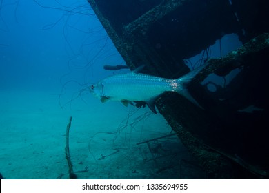 A shiny Tarpon gliding through the water in front of the Hilma Hooker wreck on the tropical reef of Bonaire island
