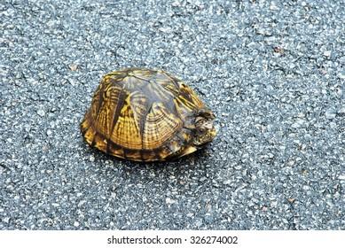 A shiny, wet, yellow South Carolina Box Turtle (Terrapene carolina) retreats into its shell on a rainy highway.