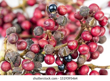 Shiny-Leaf Prickly Ash, Scientific name is (Zanthoxylum nitidum (Roxb.) DC.) herb fruits use for food