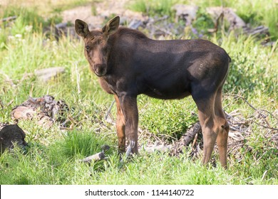 Shiras Moose of the Colorado Rocky Mountains - Moose Calf