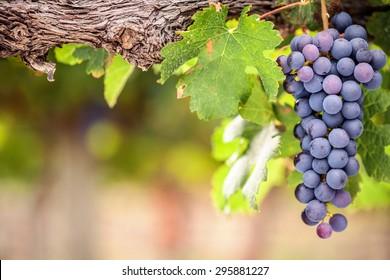 Shiraz grapes close-up