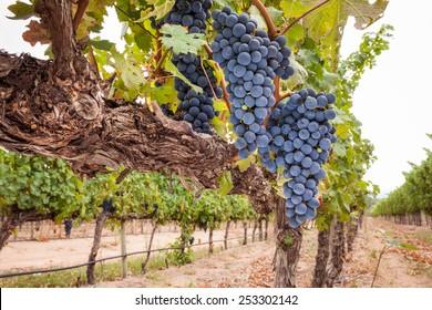 Shiraz grapes on vine wide angle scene