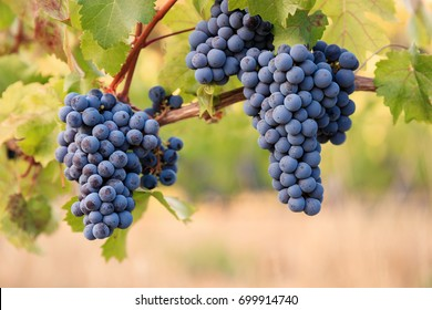 Shiraz grapes on young vine
