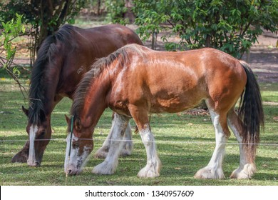 Shire and Clydesdale Horses