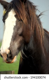 Shire horse head shot