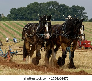 Shire Horse. Heavy horses ploughing at ploughing match.