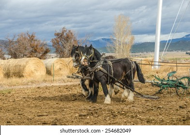 Shire horses harnessed to an antique plow which is being used to farm a small plot of land