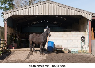 Shire Thoroughbred Cross Horse Standing in Front of its Stable on a Farm in Rural Devon, England, UK