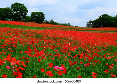 Shirley poppies (Papaver rhoeas), Showa Kinen Park, Tachikawa, Tokyo, Japan