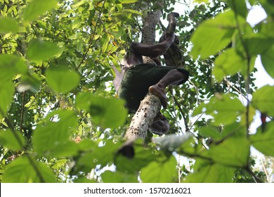 shirtless man with great agility in his legs climbing a very tall tree without safety accessories in the Amazon rainforest