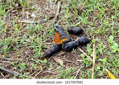 Shit with a butterfly, Polygonia c-album Nymphalinae consuming nutrients and water from dog poop. Butterfly Sitting on a Clump of Animal Excrement and eating excrements