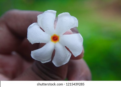 Shiuli flower,Nyctanthes arbor-tristis-2