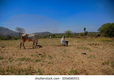 SHIVASAMUDRAM  MARCH 27 2018 : Indian Farmer man with his bulls , resting in dry paddy field