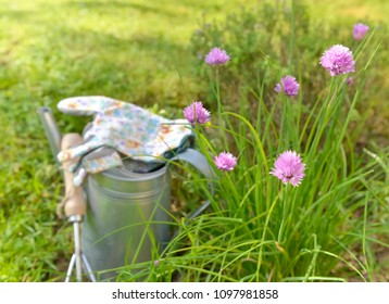 shive blooming in a garden next to an little watering can in grass