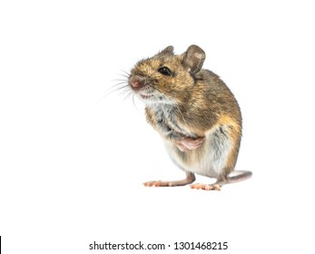 Shivering Wood mouse (Apodemus sylvaticus) isolated on white background. This cute looking mouse is found across most of Europe and is a very common and widespread species.