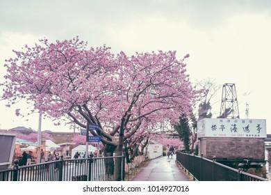 SHIZUOKA, JAPAN - FEBRUARY 17 2017:  A line of sakura trees during cherry blossom festival in Kawazu.