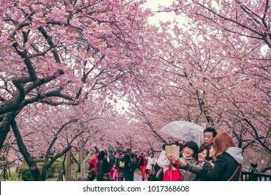 SHIZUOKA, JAPAN - FEBRUARY 17 2017: A group family is taking selfie with sakura flower as background.