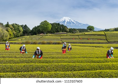Shizuoka , Japan - May 3 , 2017 : Women in traditional tea picking costumes pick the first tea leaves of the season at a tea garden.