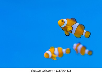 Shoal of Amphiprion ocellaris in aquarium fish tank. It is also known as ocellaris clownfish, false percula clownfish , clown anemonefish or common clownfish.