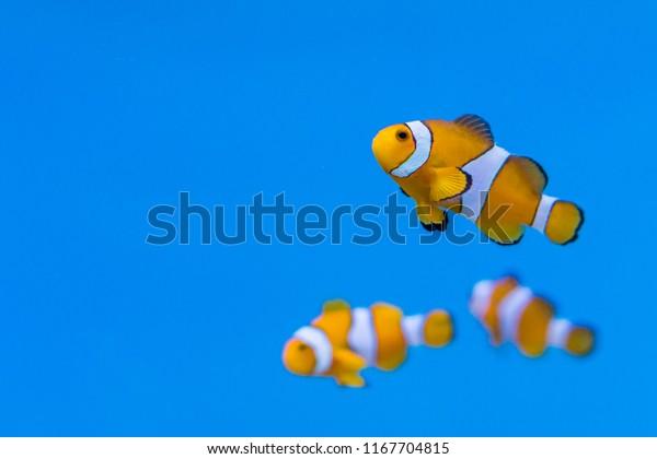 Shoal of Amphiprion ocellaris in aquarium fish tank. It is also known as ocellaris clownfish, false percula clownfish , clown anemonefish or common clownfish.