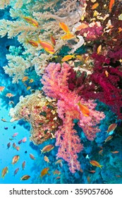 Shoal of anthias fish on the soft coral reef