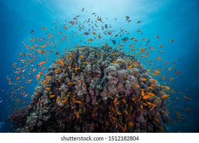 Shoal of Anthias fishes surrounding coral reef. Egypt, southern Red Sea.