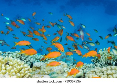 Shoal of anthias over a coral reef