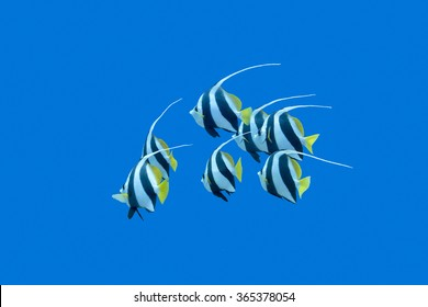 shoal of bannerfishes on a background of blue water in tropical sea, underwater