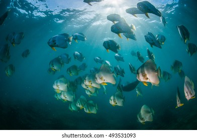 A shoal of batfish swimming through the beautiful light rays in a blue, clear ocean